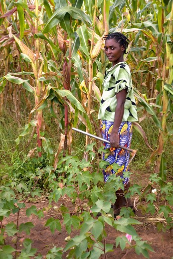woman conservation farmer with maize & cotton crops model release ref: linda mweemba magoye, zambia conservation farming is now a major environment & food production project in zambia. though not new globally it is new to africa. cf is a low technology, minimum tillage, crop rotation, land enhancing and land conservation system resulting in higher yeilds, low fertilizer use, no land degradment and therefore no ned for migrgation and newly deforested areas. date: 08.12.2008 ref: zb1069_125948_000 : Stock Photo