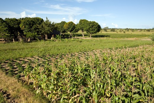 Stock Photo: 4141-18714 conservation farm & village - crop rotation zambia date: 08.12.2008 ref: zb1069_125948_0010 compulsory credit: woodfall wild images/photoshot