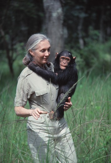 Stock Photo: 4141-18895 jane goodall carrying young chimpanzee chimfunshi sanctuary, zambia