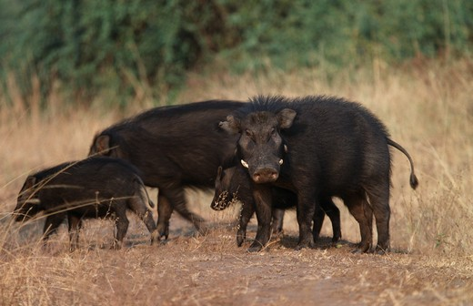 giant forest hog group hylochoerus meinertzhageni queen elizabeth national park, western uganda  : Stock Photo