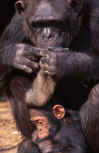 Stock Photo: 4141-18940 chimpanzee inspecting foot pan troglodytes with baby crouched beneath, northern zambia.