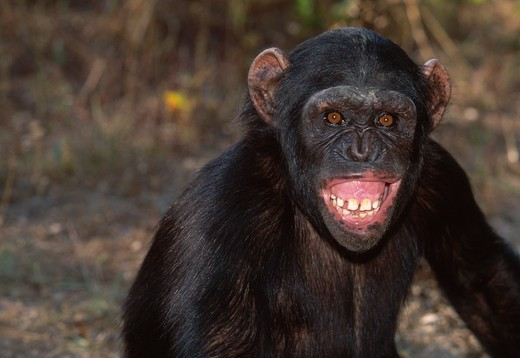 Stock Photo: 4141-18976 chimpanzee grinning, head detail pan troglodytes expression of fear or anxiety chimfunshi sanctuary, northern zambia