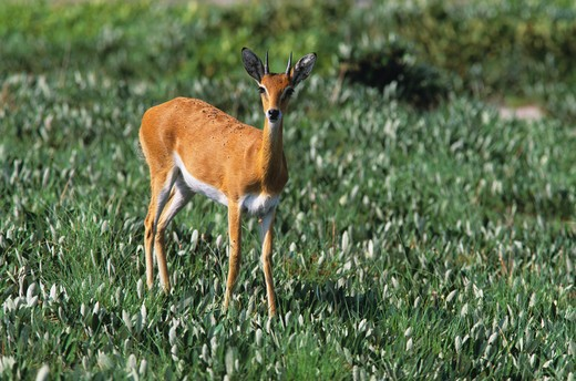 oribi with tick infestation ourebia ourebi western zambia : Stock Photo