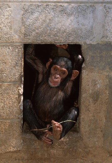 Stock Photo: 4141-18998 chimpanzee young pan troglodytes in enclosure doorway chimfunshi sanctuary, northern zambia