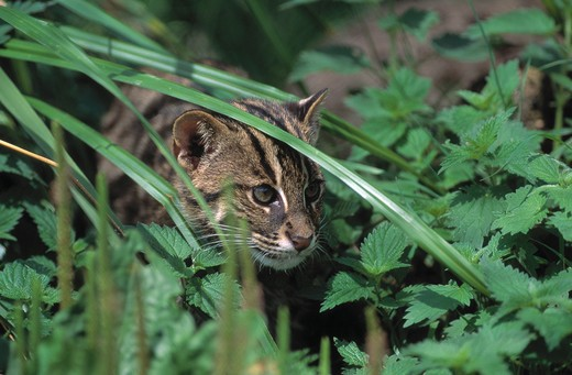 fishing cat felis viverrina or prionailurus viverrina native to south eastern asia : Stock Photo