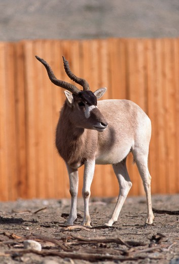 Stock Photo: 4141-19274 addax addax nasomaculatus captive breeding programme, living desert, california, usa.