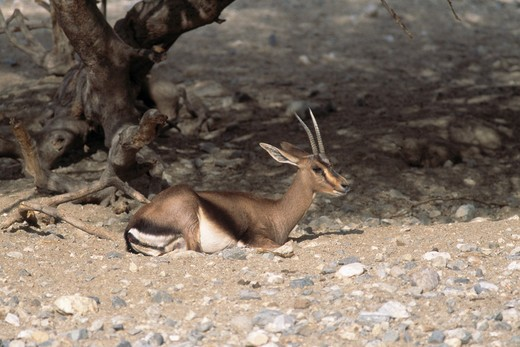 cuvier's gazelle or edmi gazella cuvieri (captive breeding programme) living desert, california, usa  : Stock Photo