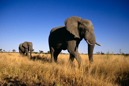 Stock Photo: 4141-19367 african elephant two males loxodonta africana on path to waterhole savuti, chobe national park, botswana, southern africa