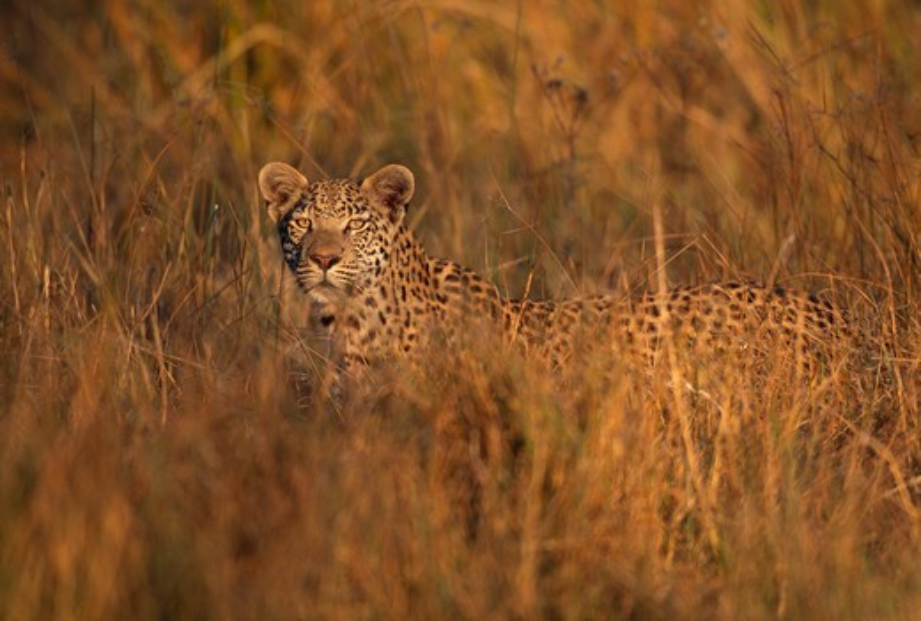 leopard hunting in long grass panthera pardus moremi game reserve, okavango, botswana : Stock Photo