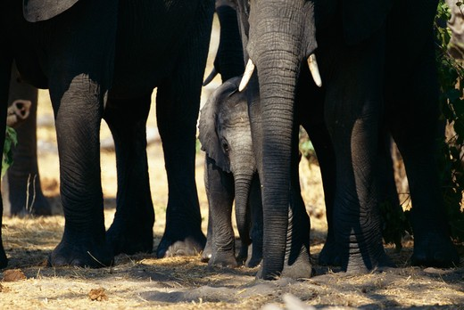 african elephant calf loxodonta africana sheltered by herd chobe national park, botswana.  : Stock Photo