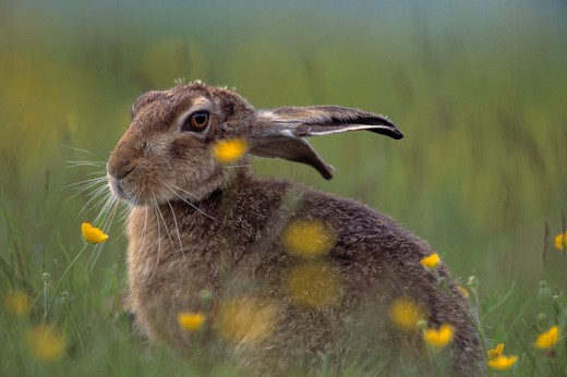 Stock Photo: 4141-19501 european brown hare lepus europaeus sitting amongst buttercups cairngorms, grampian highlands, scotland
