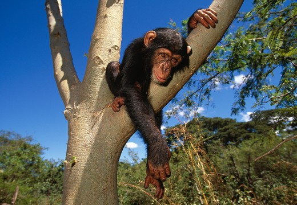 chimpanzee baby resting in tree pan troglodytes chimfunshi sanctuary, zambia : Stock Photo