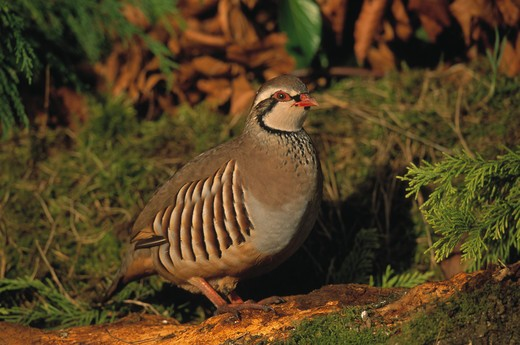 Stock Photo: 4141-19672 red-legged partridge alectoris rufa hampshire, southern england