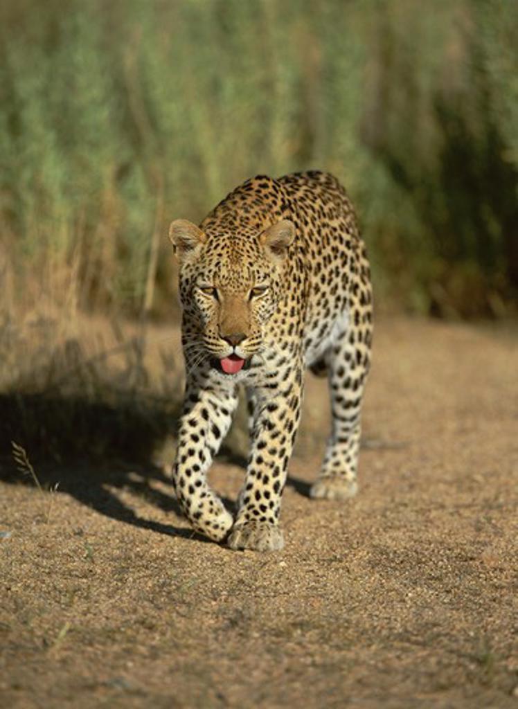 african leopard panthera pardus namib nakluft desert, namibia : Stock Photo