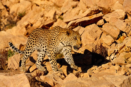 african leopard panthera pardus namib nakluft desert, namibia : Stock Photo