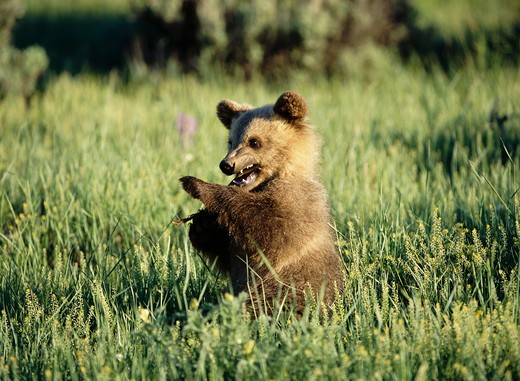 Stock Photo: 4141-19794 american brown or grizzly bear ursus arctos cub, usa