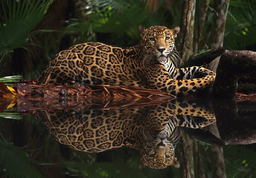 jaguar panthera onca reflection in rainforest pool digitally manipulated : Stock Photo