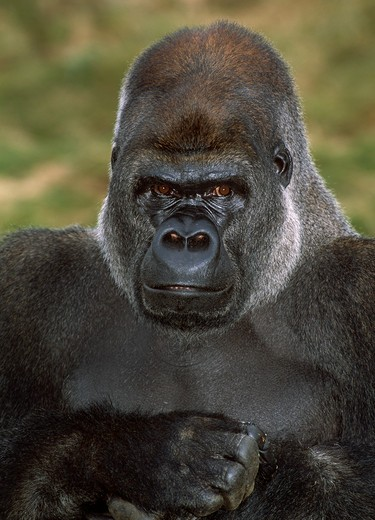 Stock Photo: 4141-19871 gorilla gorilla gorilla face detail (in captivity)