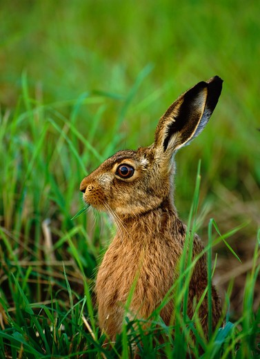 european brown hare lepus europaeus uk : Stock Photo