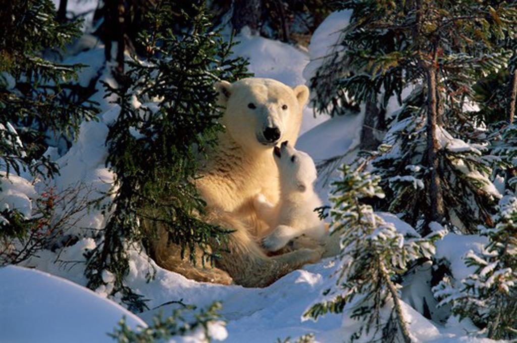 Stock Photo: 4141-19899 polar bears ursus maritimus with cub, canadian arctic