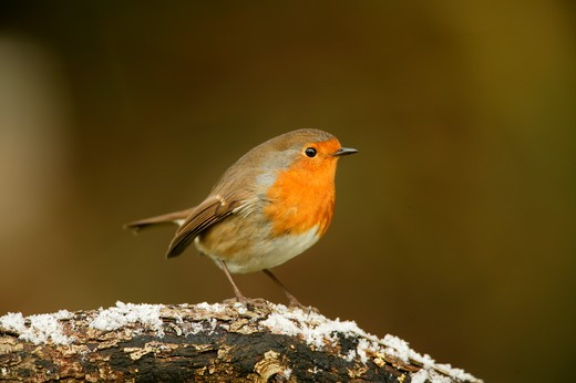 Stock Photo: 4141-19941 robin on branch erithacus rubecula wiltshire, uk