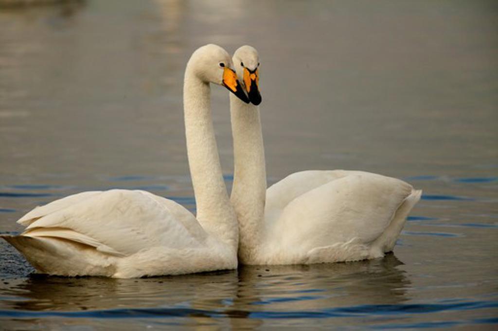 Stock Photo: 4141-20039 whooper swan pair cygnus cygnus martin mere wwt reserve, lancashire