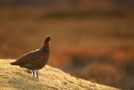 red grouse male lagopus lagopus yorkshire dales, uk : Stock Photo