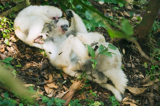 Stock Photo: 4141-2017 silky sifaka (propithecus candidus) three lemurs playing on forest floor, endangered, marojejy national park, madagascar