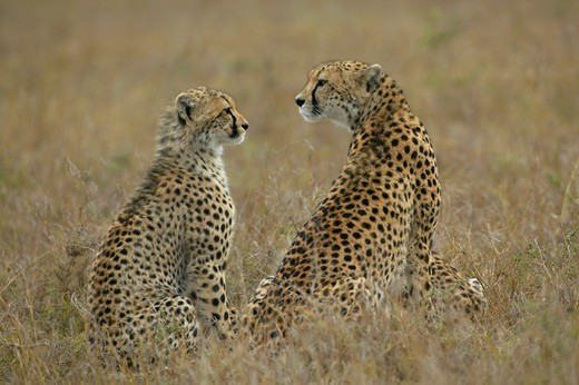Stock Photo: 4141-20319 cheetah mother and cub acinonyx jubatus masai mara game reserve, kenya