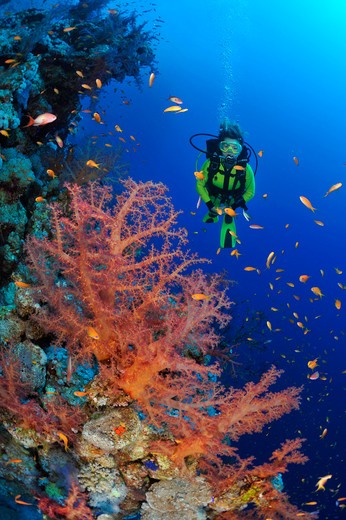 diver in the red sea : Stock Photo