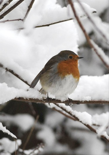 Stock Photo: 4141-20881 thousands of schools are closed and travellers have been hit by major disruption after further heavy snowfall hit large parts of the uk. parts of scotland and northern england have had more snow, which has also spread to southern areas of the uk. photo shows; adult robin erithacus rubecula in the snow in reigate,surrey.