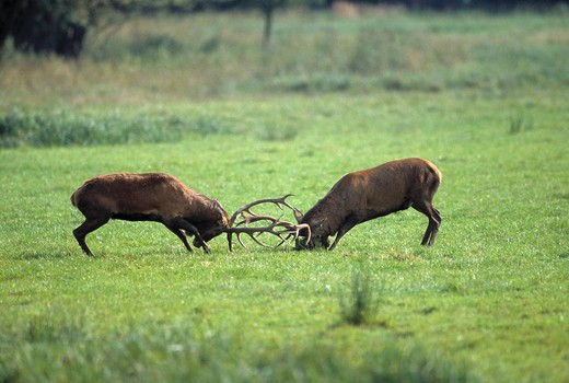 red deer cervus elaphus mature male stags sparring : Stock Photo