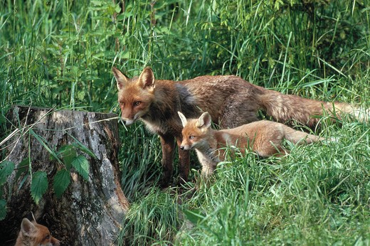 Stock Photo: 4141-21005 european red fox vulpes vulpes with two young