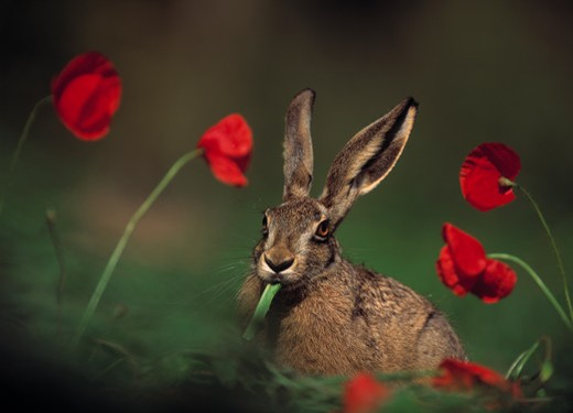 european brown hare lepus europaeus eating dandelion amongst poppies : Stock Photo
