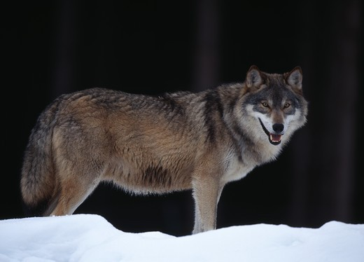 Stock Photo: 4141-21177 european grey wolf canis lupus on lookout from snow-covered ridge