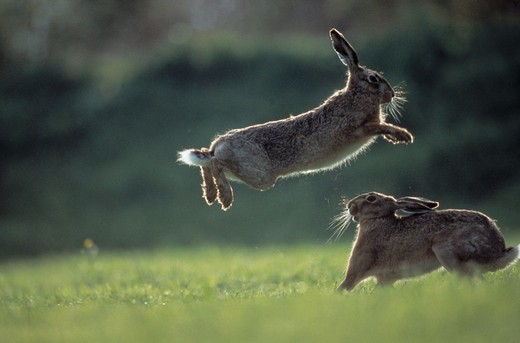 european brown hares in spring lepus europaeus one leaping : Stock Photo