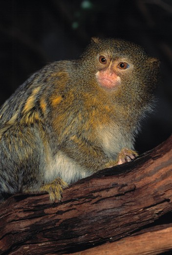 Stock Photo: 4141-2123 pygmy marmoset cebuella pygmaea amazon basin, south america