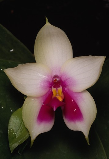 orchid phalaenopsis violacea south east asia  : Stock Photo