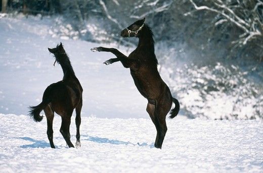 Stock Photo: 4141-21461 wurtenberger horses fighting