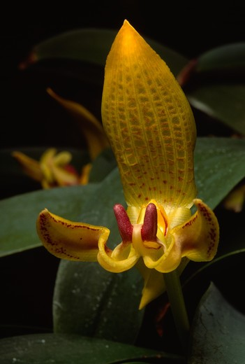 Stock Photo: 4141-2149 orchid bulbophyllum dearii borneo