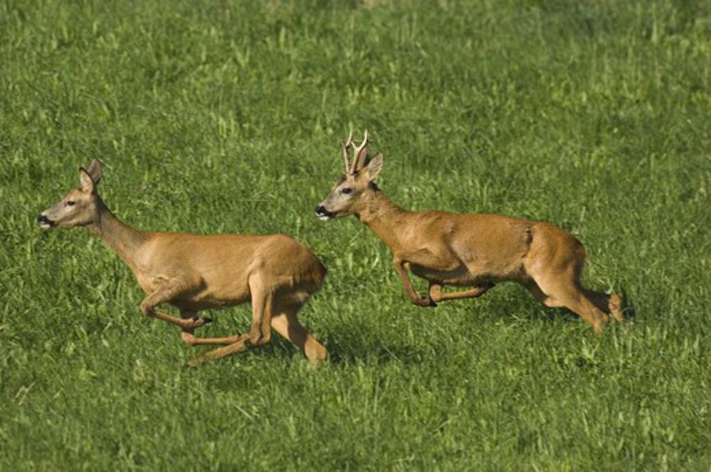 Stock Photo: 4141-21650 roe deer (capreolus capreolus) running