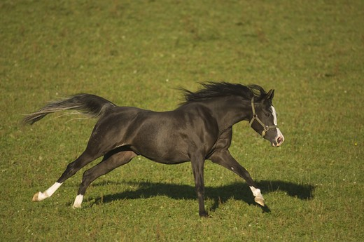 pferd horse running : Stock Photo