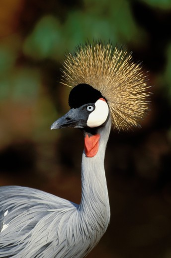 crowned crane, balaerica regulorum, endangered, kwazulu-natal, south africa : Stock Photo