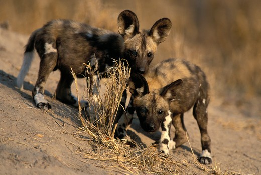 wild dog (cape hunting dog), lycaon pictus, young pups ar den, endangered species, kruger national park, south africa. : Stock Photo