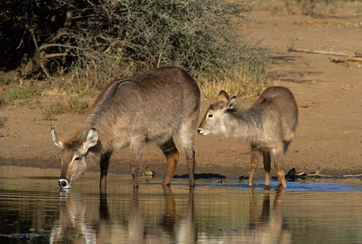 waterbuck, kobus ellipsiprymnus, mother and calf, kruger national park, south africa : Stock Photo