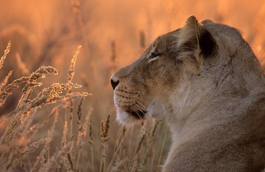 Stock Photo: 4141-22022 lioness, panthera leo, kgalagadi transfrontier park, kalahari, south africa