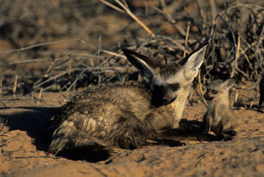 Stock Photo: 4141-22077 bat-eared fox, otocyon megalotis. mother and cub, kgalgadi transfrontier park, kalahari, south africa