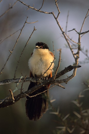 burchell's coucal, centropus supercillosus, kruger national park, south africa : Stock Photo