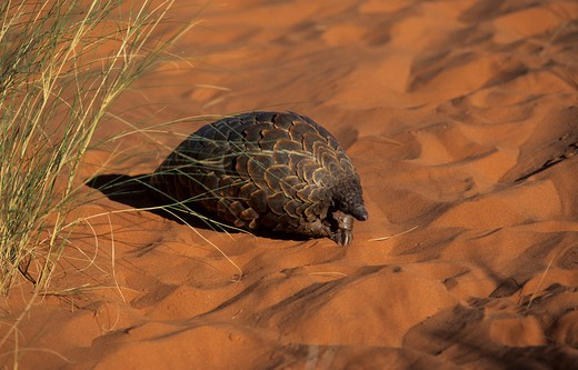 pangolin, manus temminickii, kgalagadi transfrontier park, kalahari, south africa. : Stock Photo