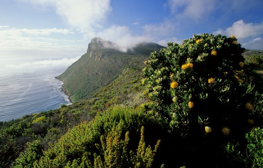cape peninsula national park, view of reserve with fynbos, cape town, weatern cape, south africa : Stock Photo